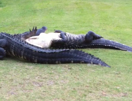 Alligators Go MMA on a Golf Course
